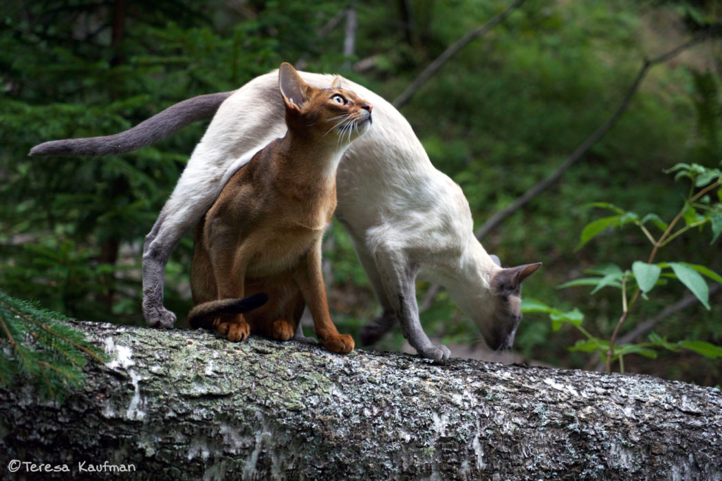 Siamese and Abyssinian adventure cats