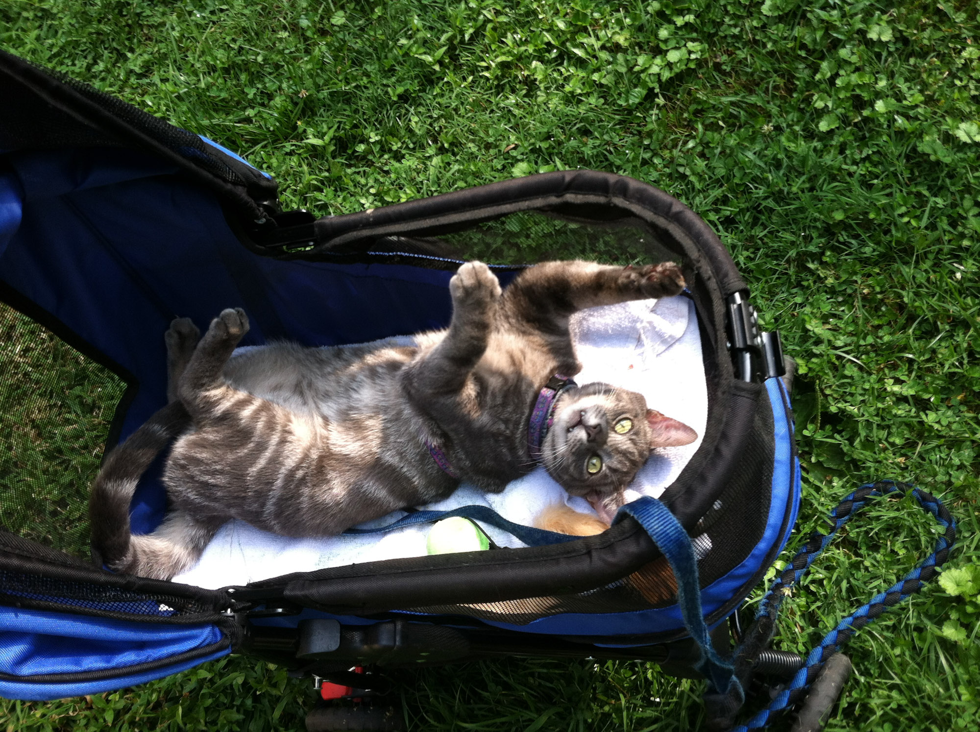 cat riding in stroller