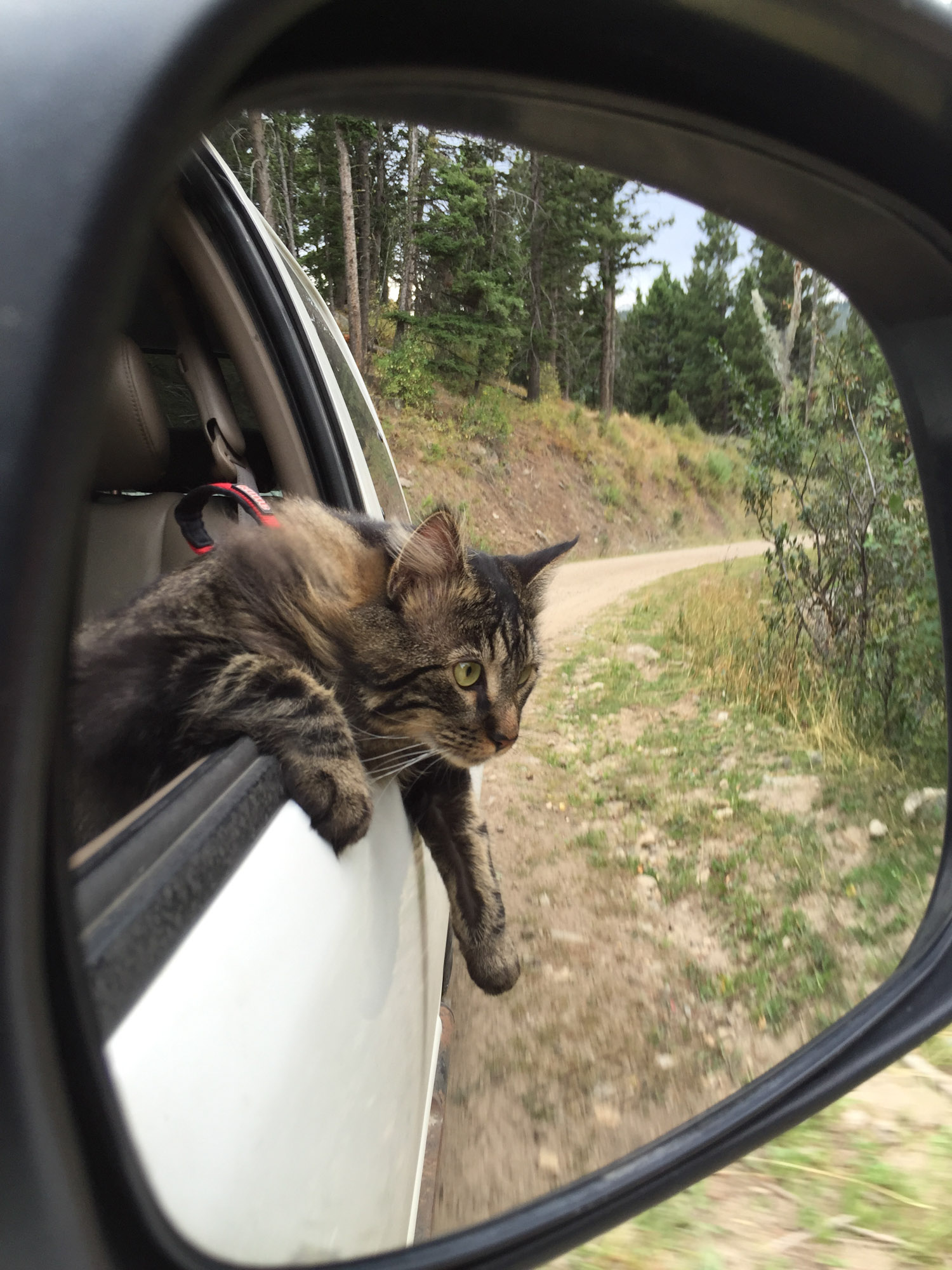 Otie the adventure cat leaning out car window
