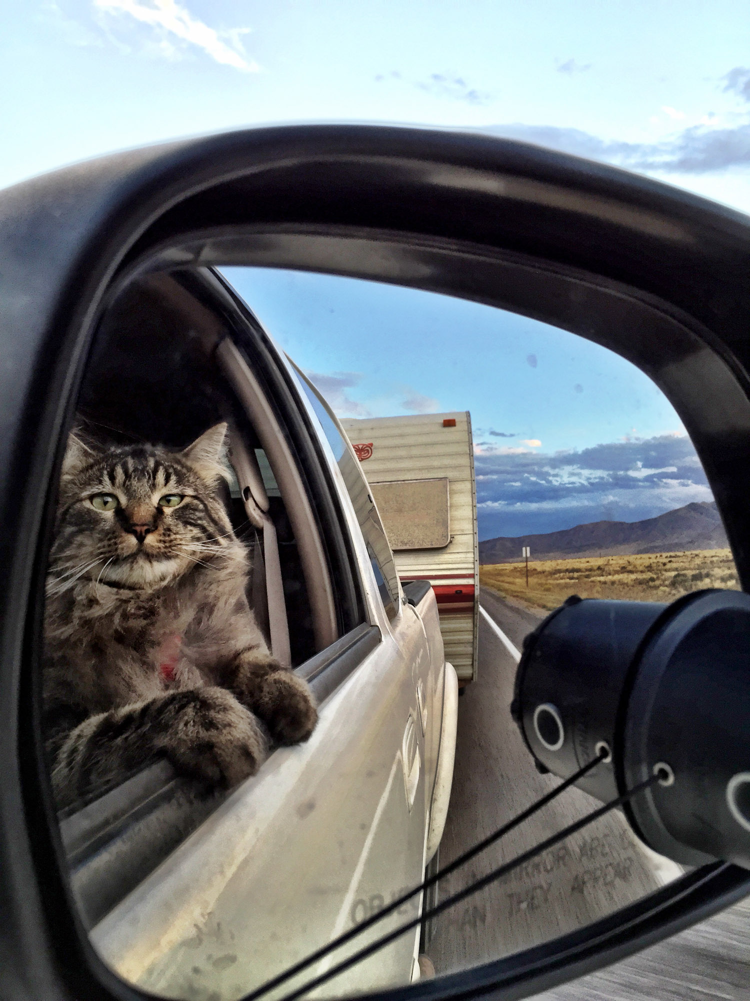 Maine Coon riding in car