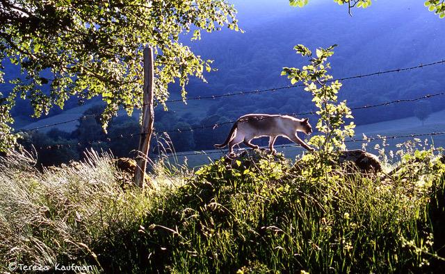 Siamese cat in rural France