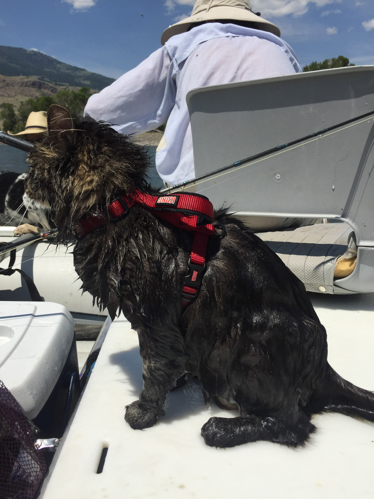 Maine Coon went for a swim