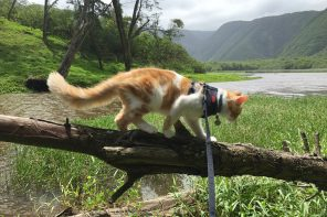 Atlas the cat exploring Hawaii
