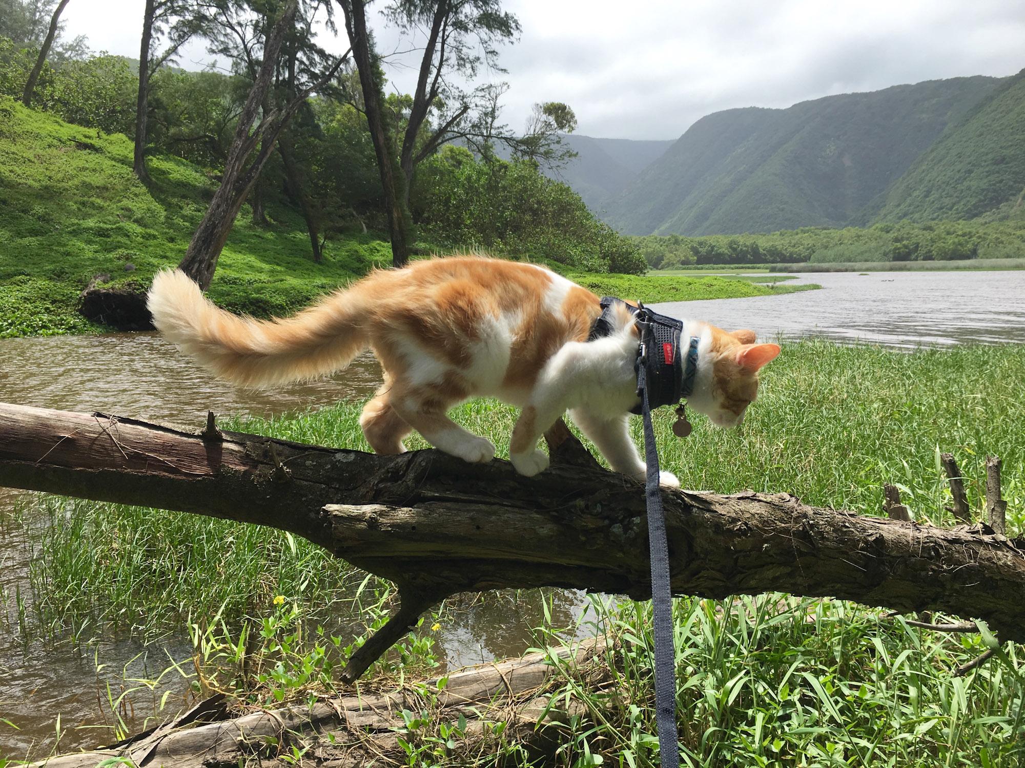 Atlas the cat exploring Hawaii
