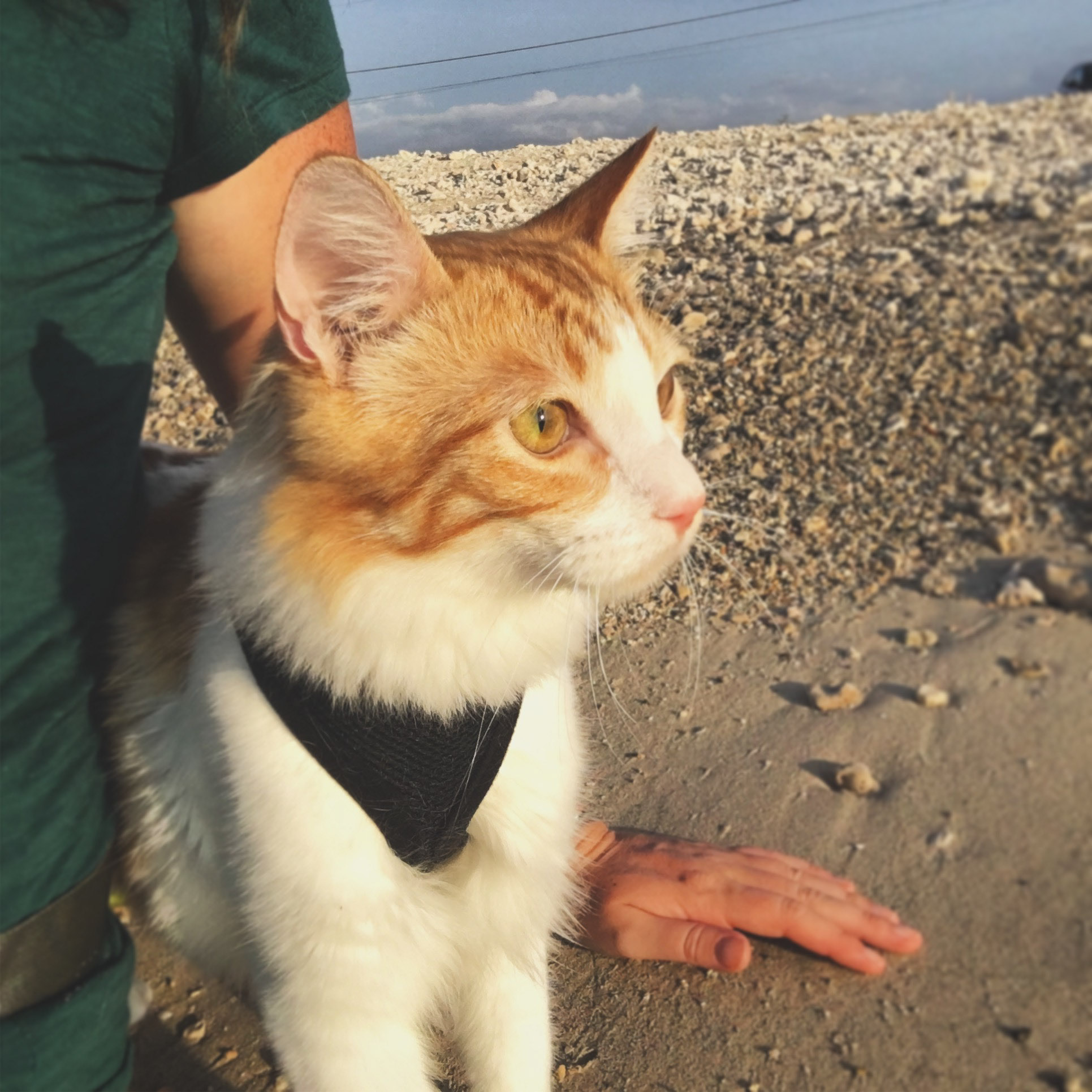 Atlas the cat sitting on beach with owner