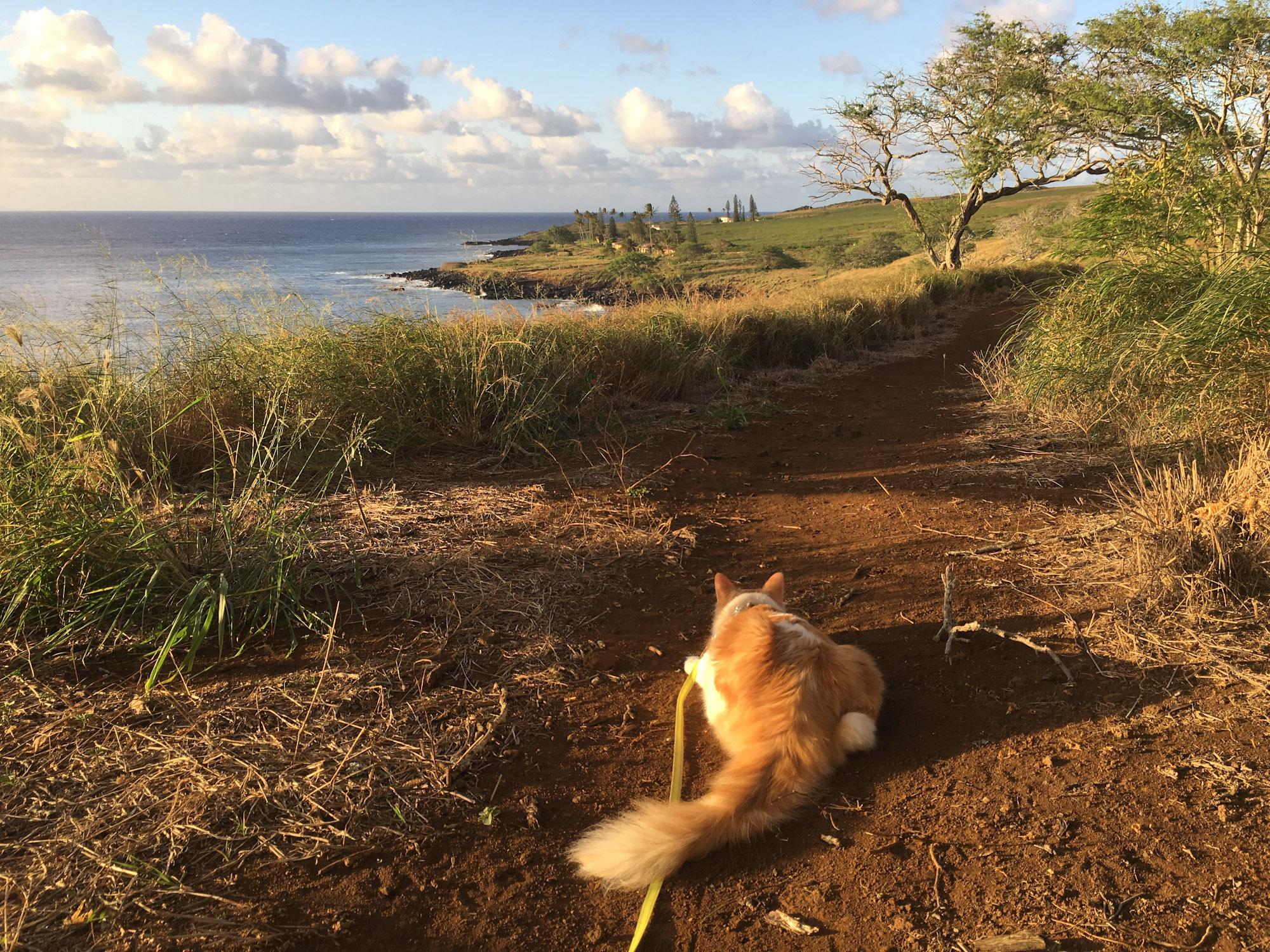 Atlas the cat in Hawaii