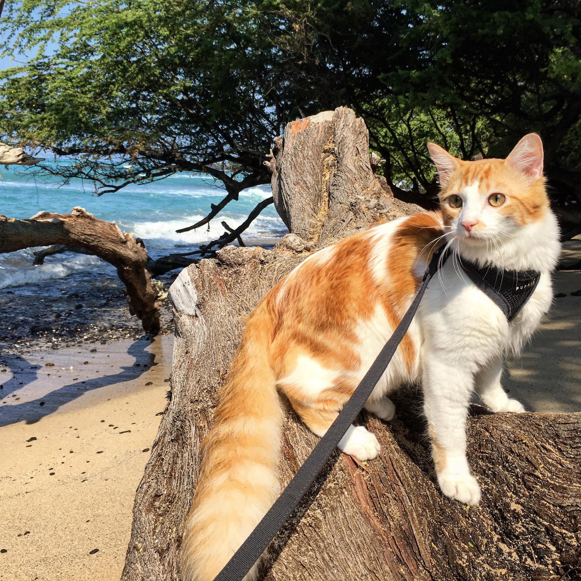 Atlas the adventure cat