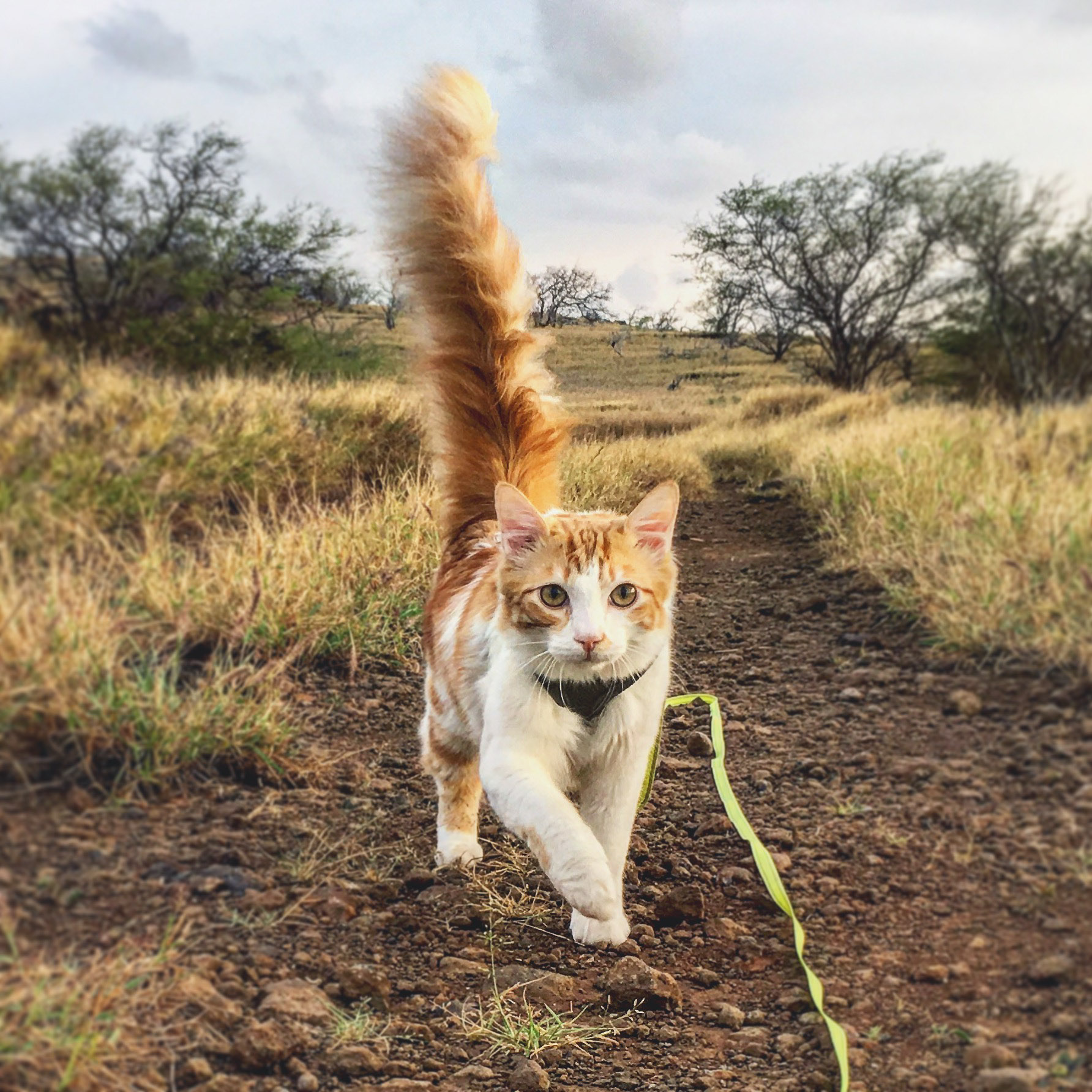 Atlas the cat running on leash