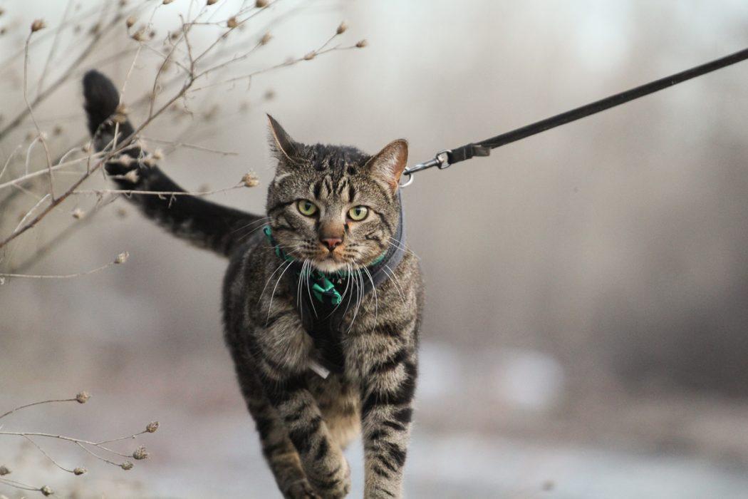 Cat on a leash walks near plants in winter