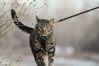 Cat on a leash walks near plants in winter