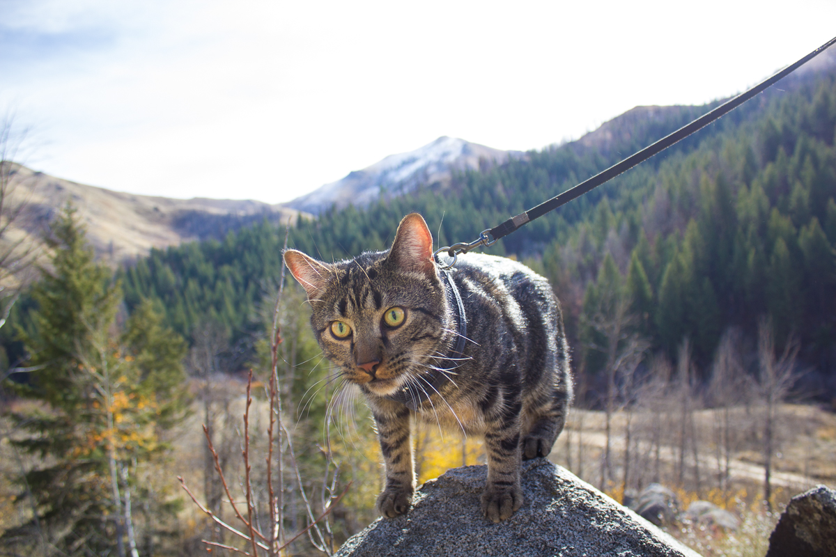 Cat on rock in front of mountains