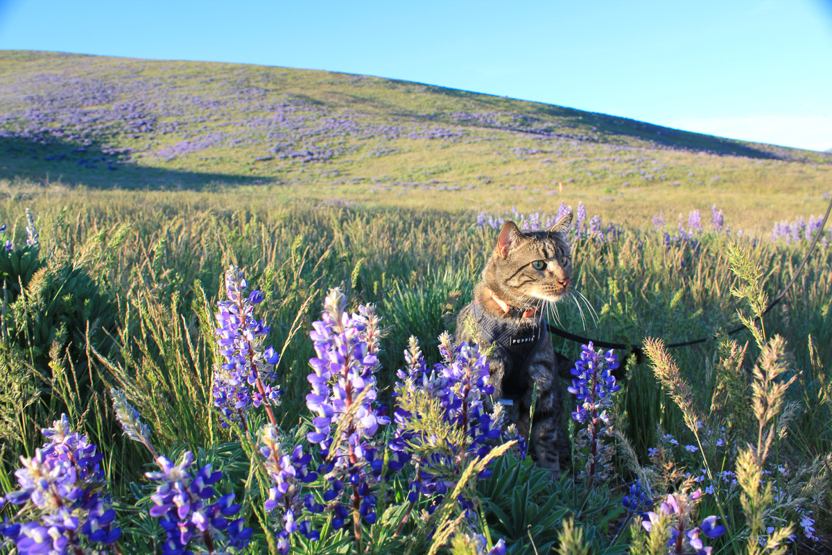 Lupine fields + beautiful kitty = picture purrfect! (Photo: Dave Keir)