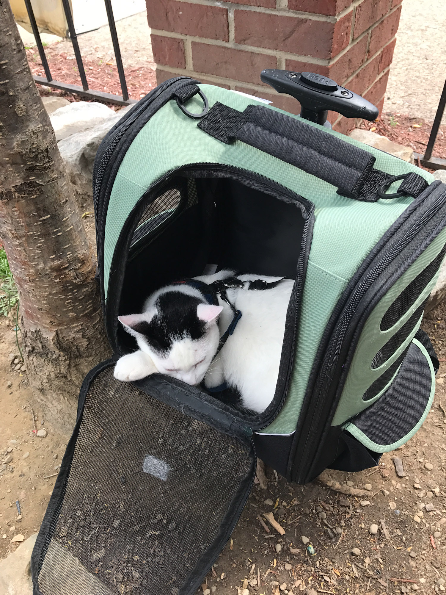 Milo the adventure cat napping in backpack