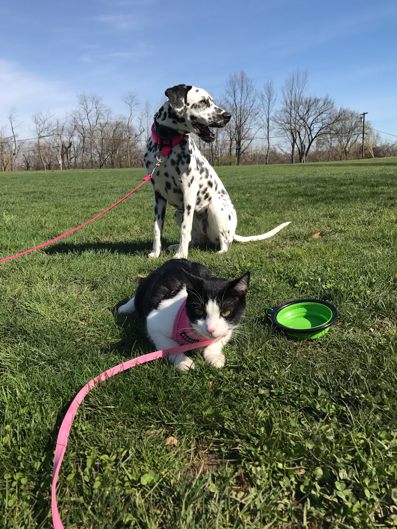 Lily the adventure cat with dalmatian