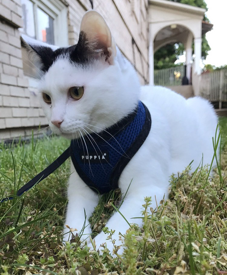 Milo the cat digging in grass