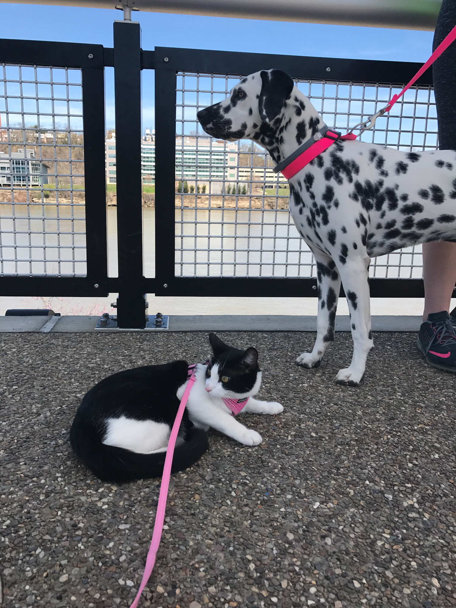 Lily the adventure cat with dalmatian in Pittsburgh