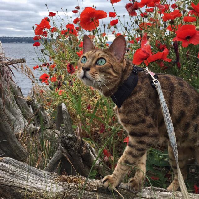 Romeo the Bengal cat