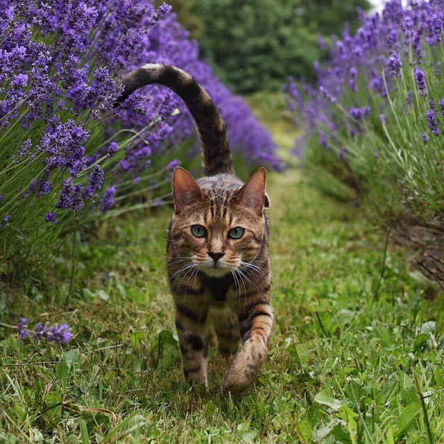 Romeo the cat walking through flowers