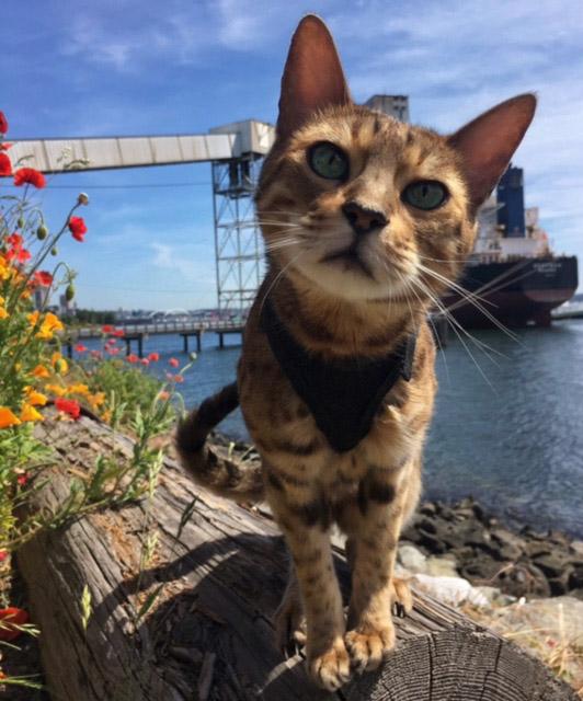 Romeo Bengal adventure cat