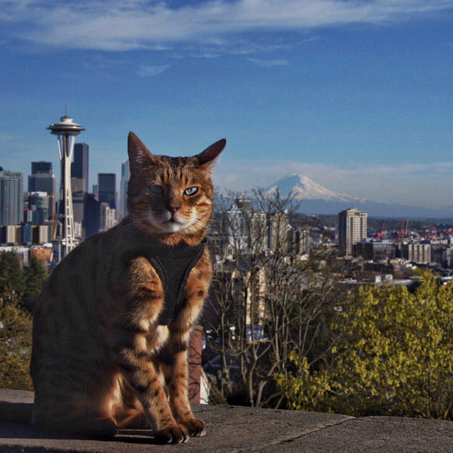 Romeo the cat with Seattle skyline