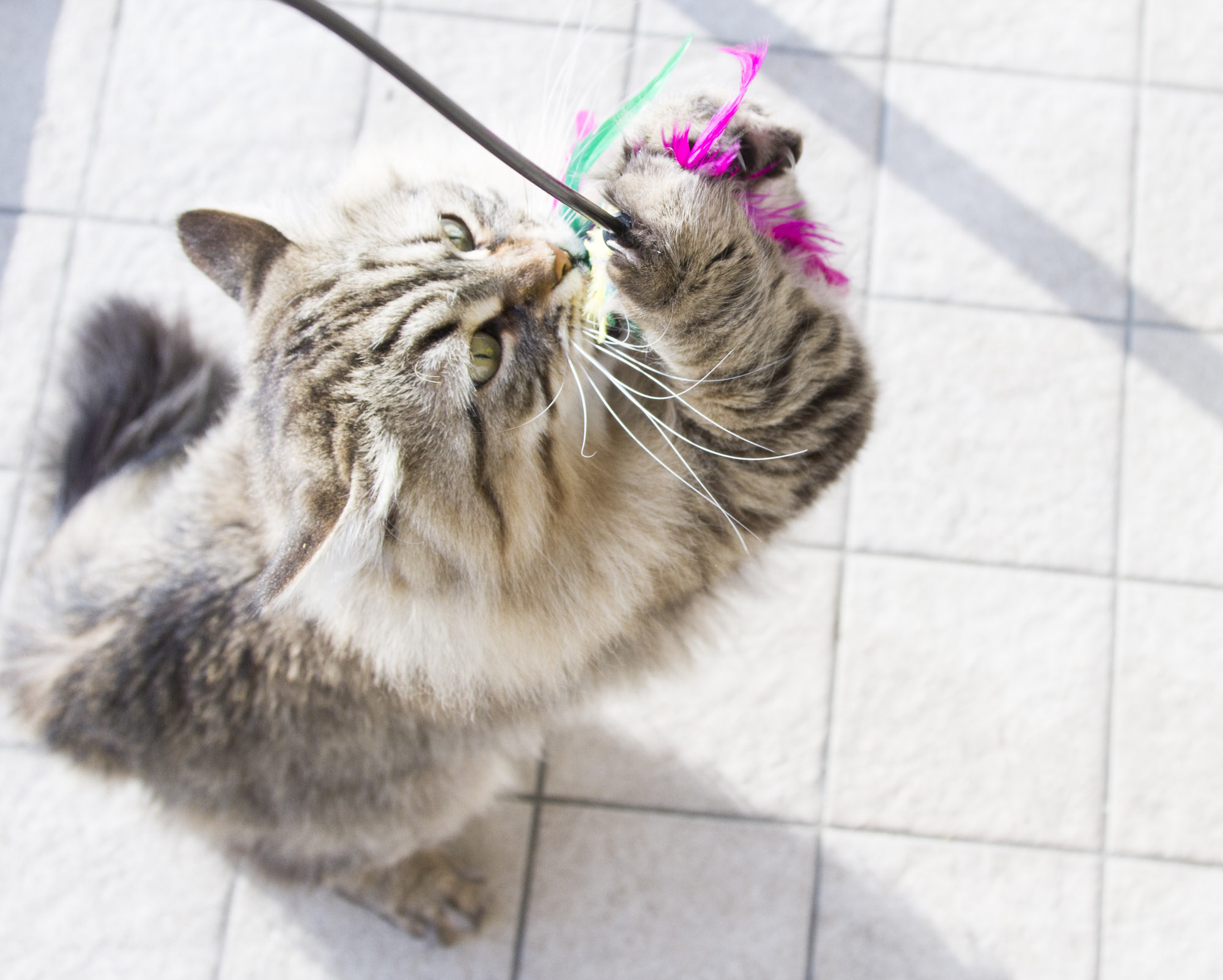 cat playing with feather wand toy