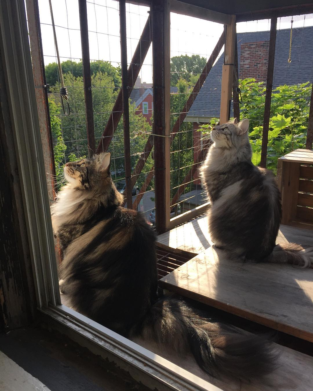 Mo and Olivia spend lots of time on their catio in the mornings especially, their owner Emily Nodine says. (Photo: Emily Nodine)