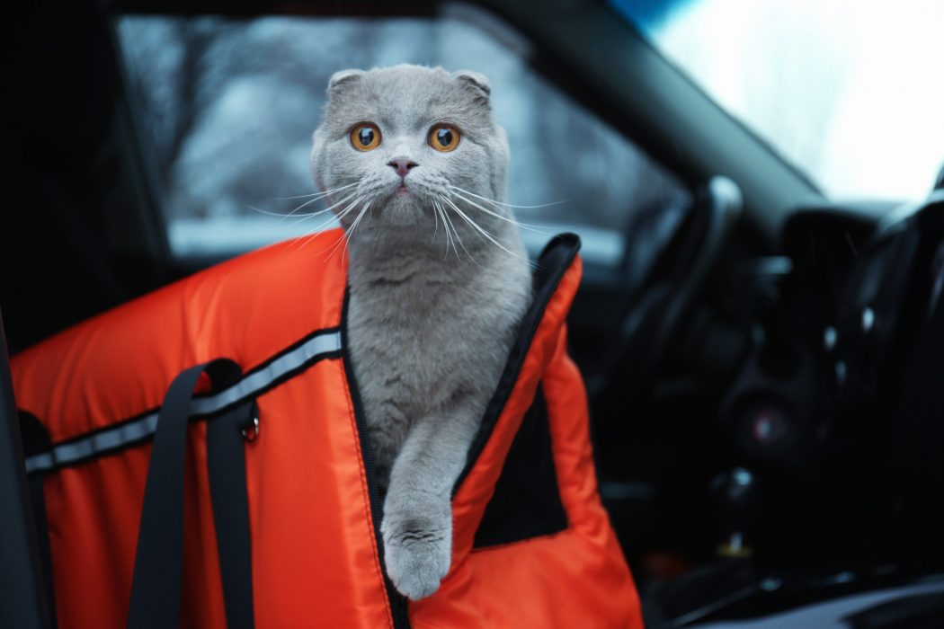 cat riding in carrier in car
