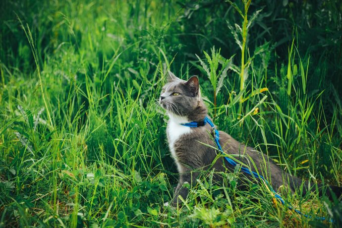 leashed cat in grass