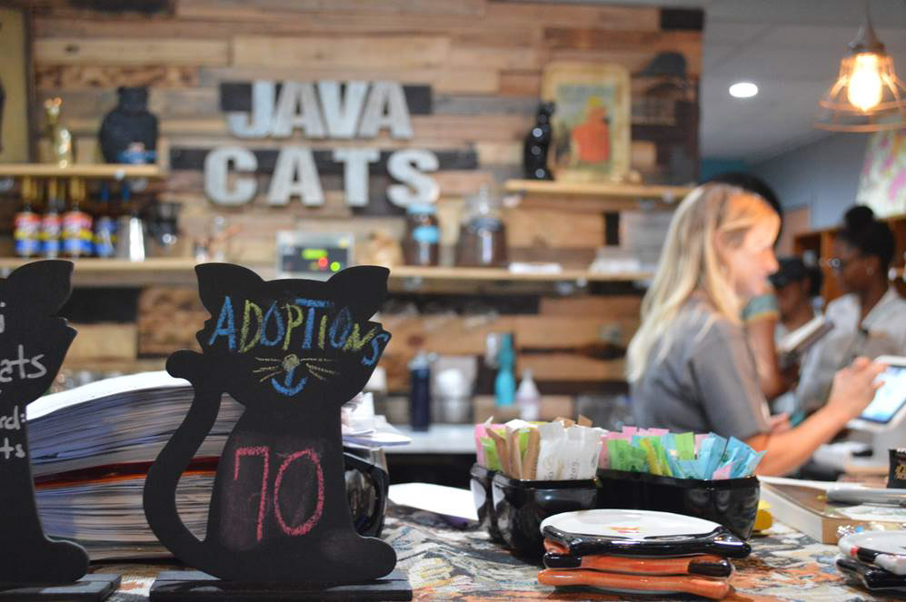 Java Cats adoption event with Adventure Cats and Purevax