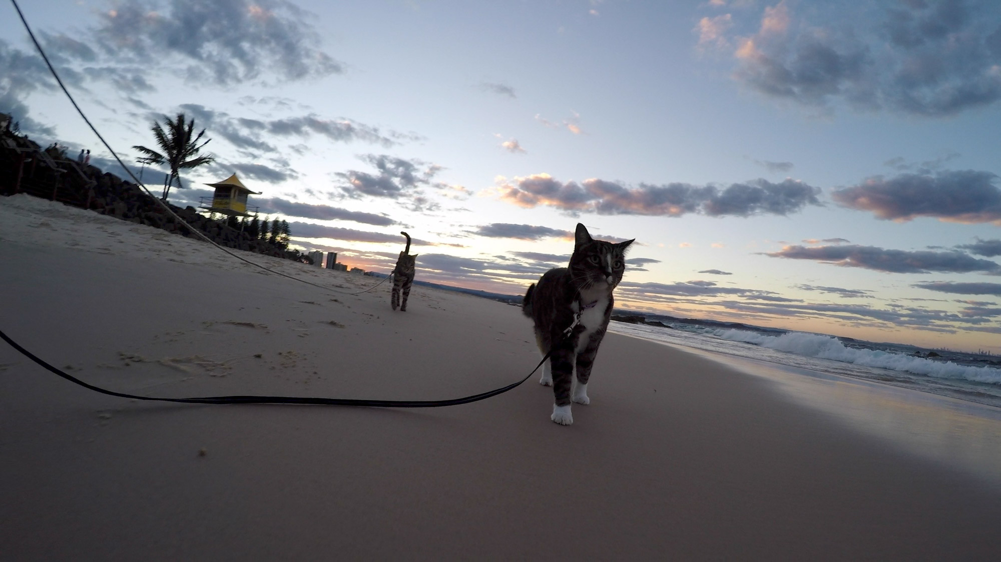 cats walking on leashes at beach