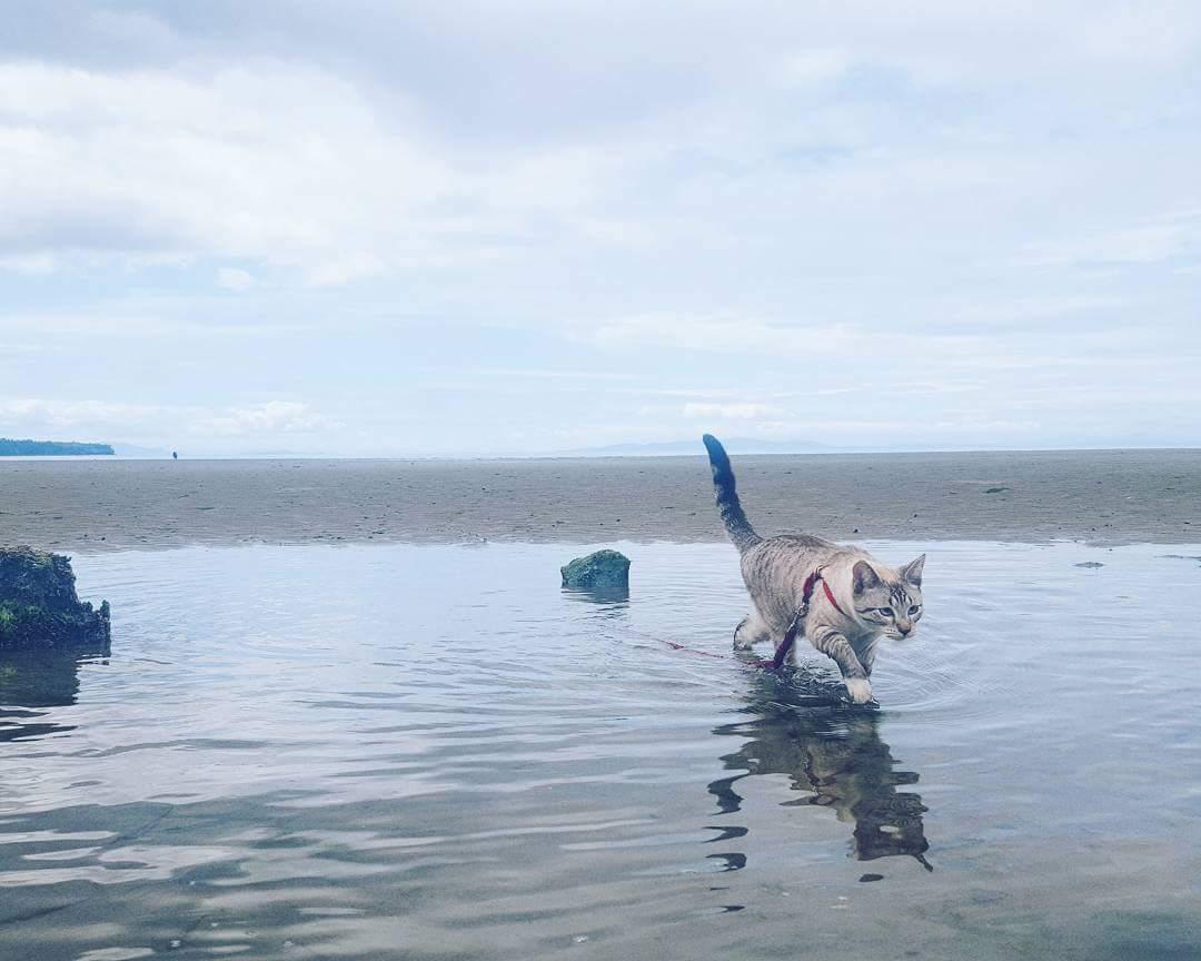 Shasta the cat runs through shallow water
