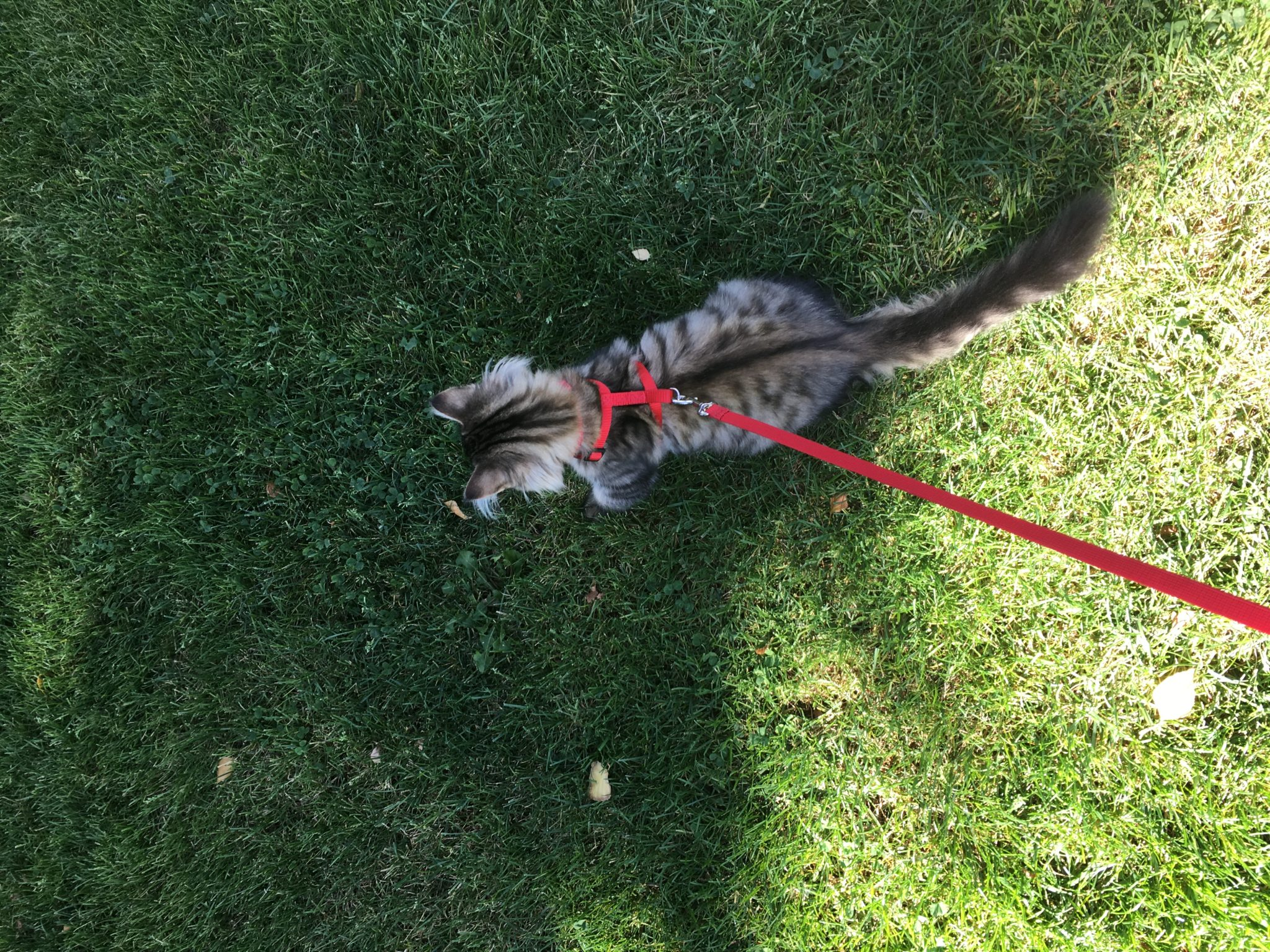 McKinely the kitten on a leash