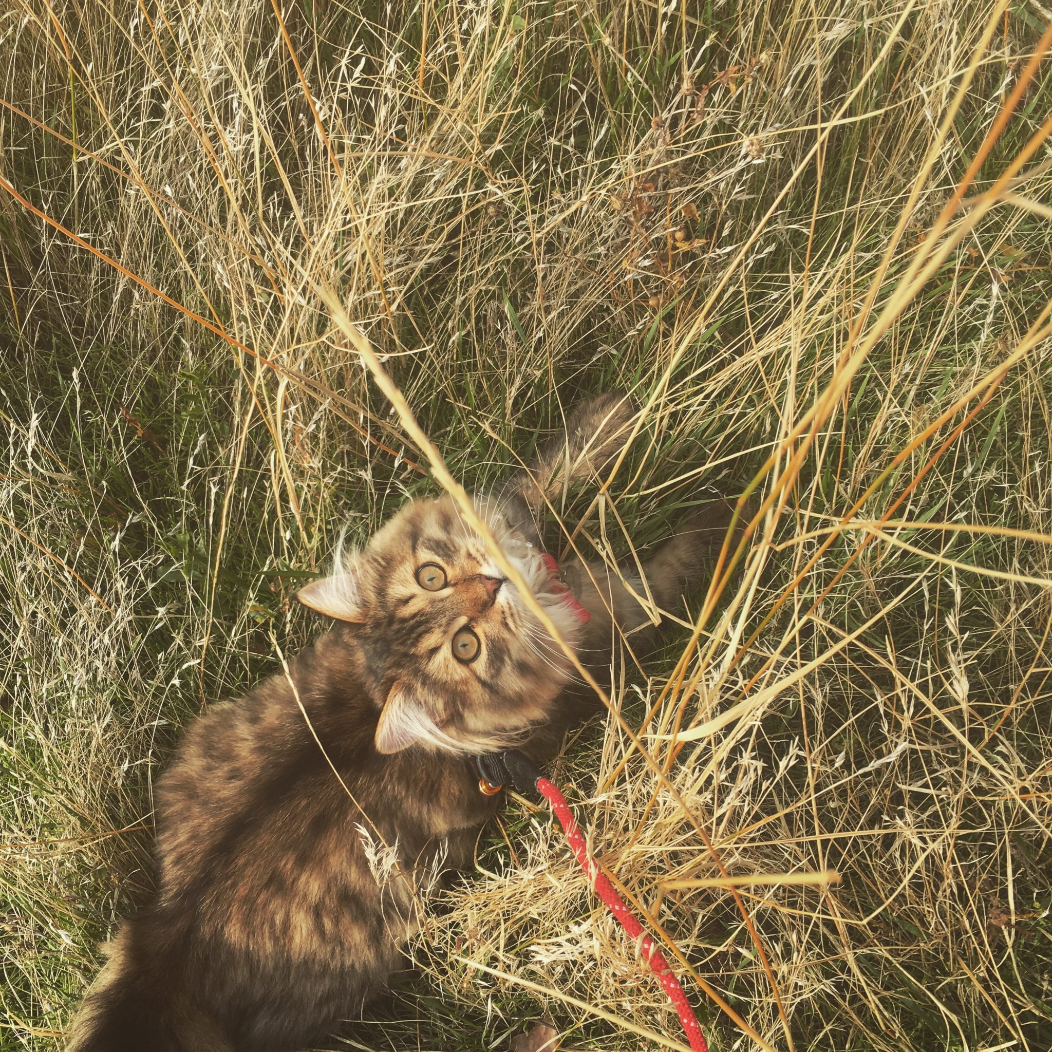 McKinley the cat in tall grass