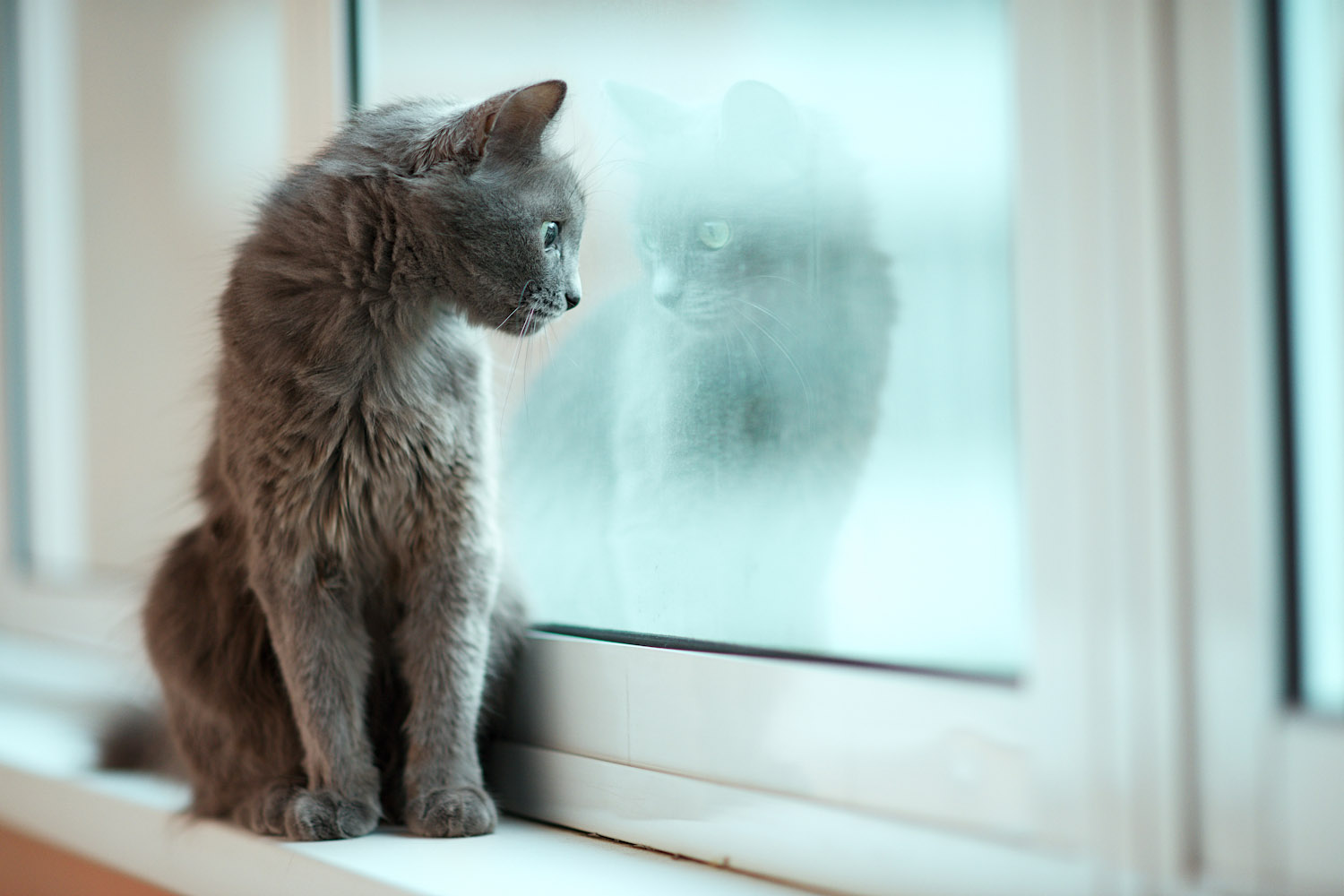 sad gray cat looking out window