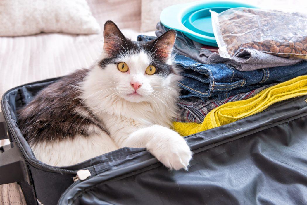 cat sitting in suitcase in hotel room