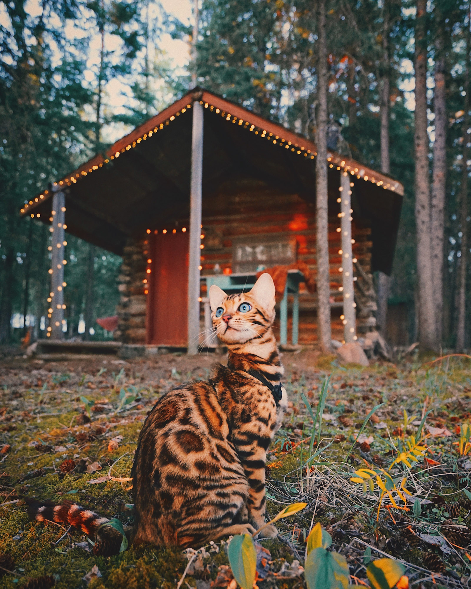 Suki adventure cat in front of cabin