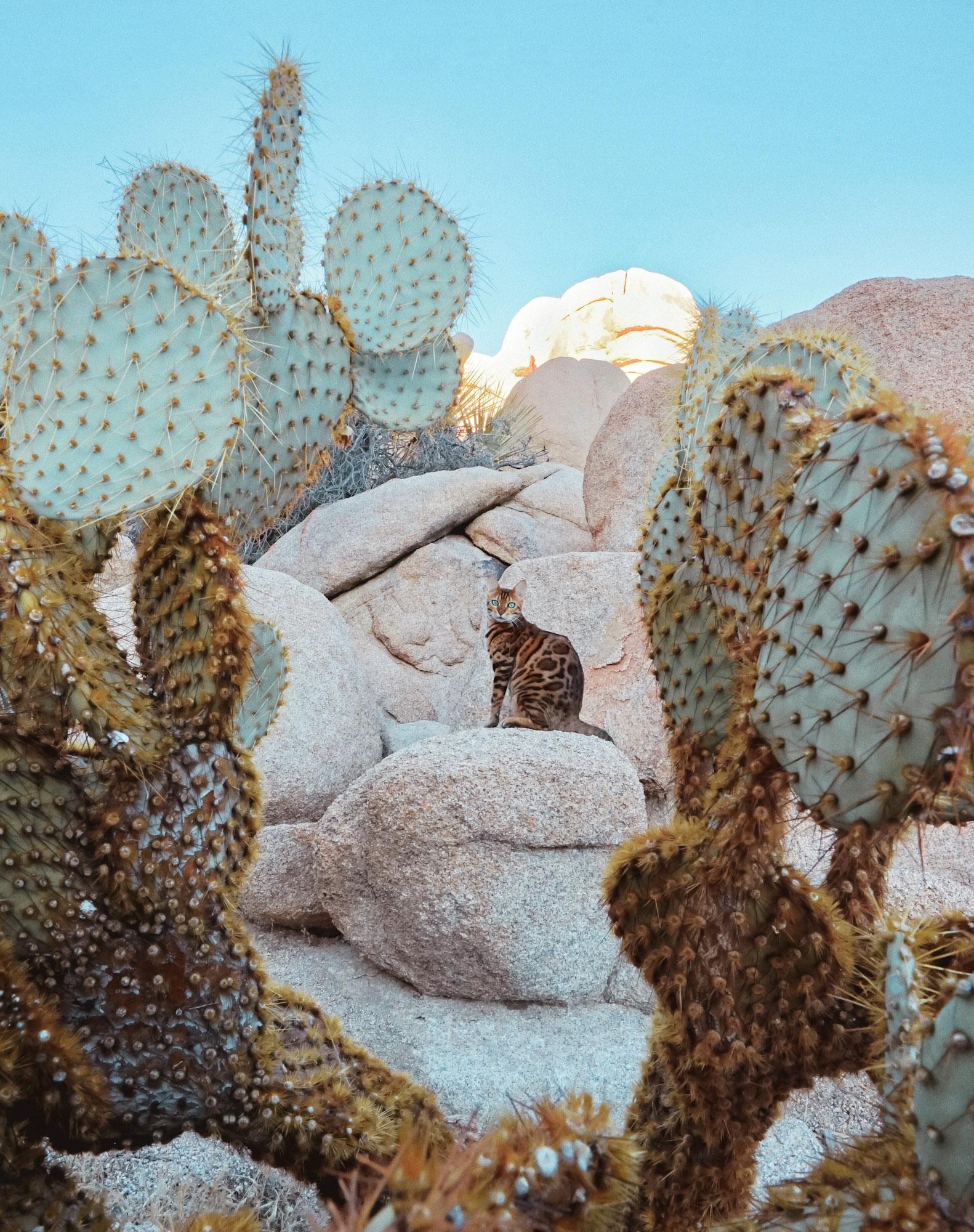 Suki adventure cat explores desert cacti