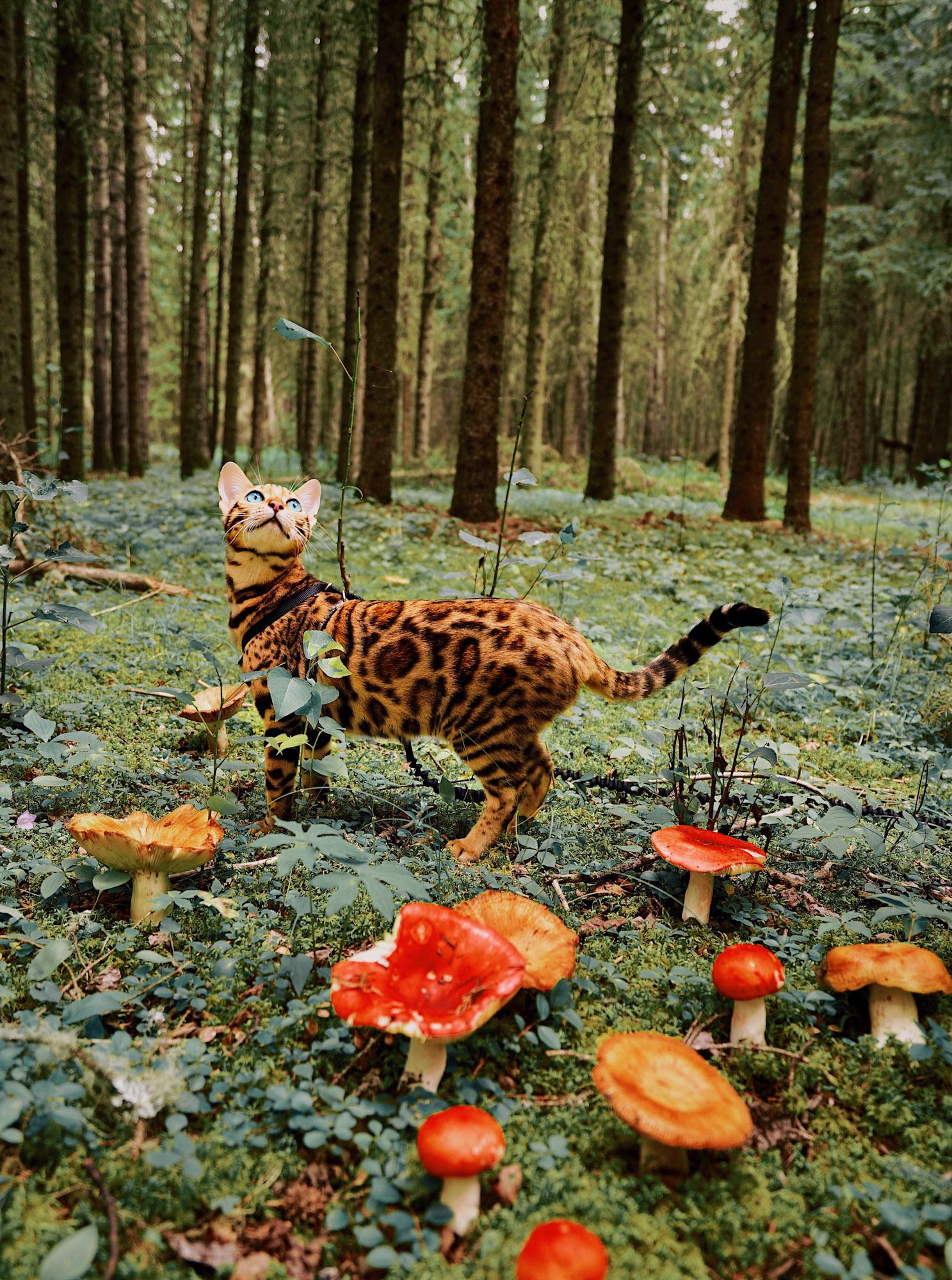 Suki adventure cat in British Columbian forest with mushrooms