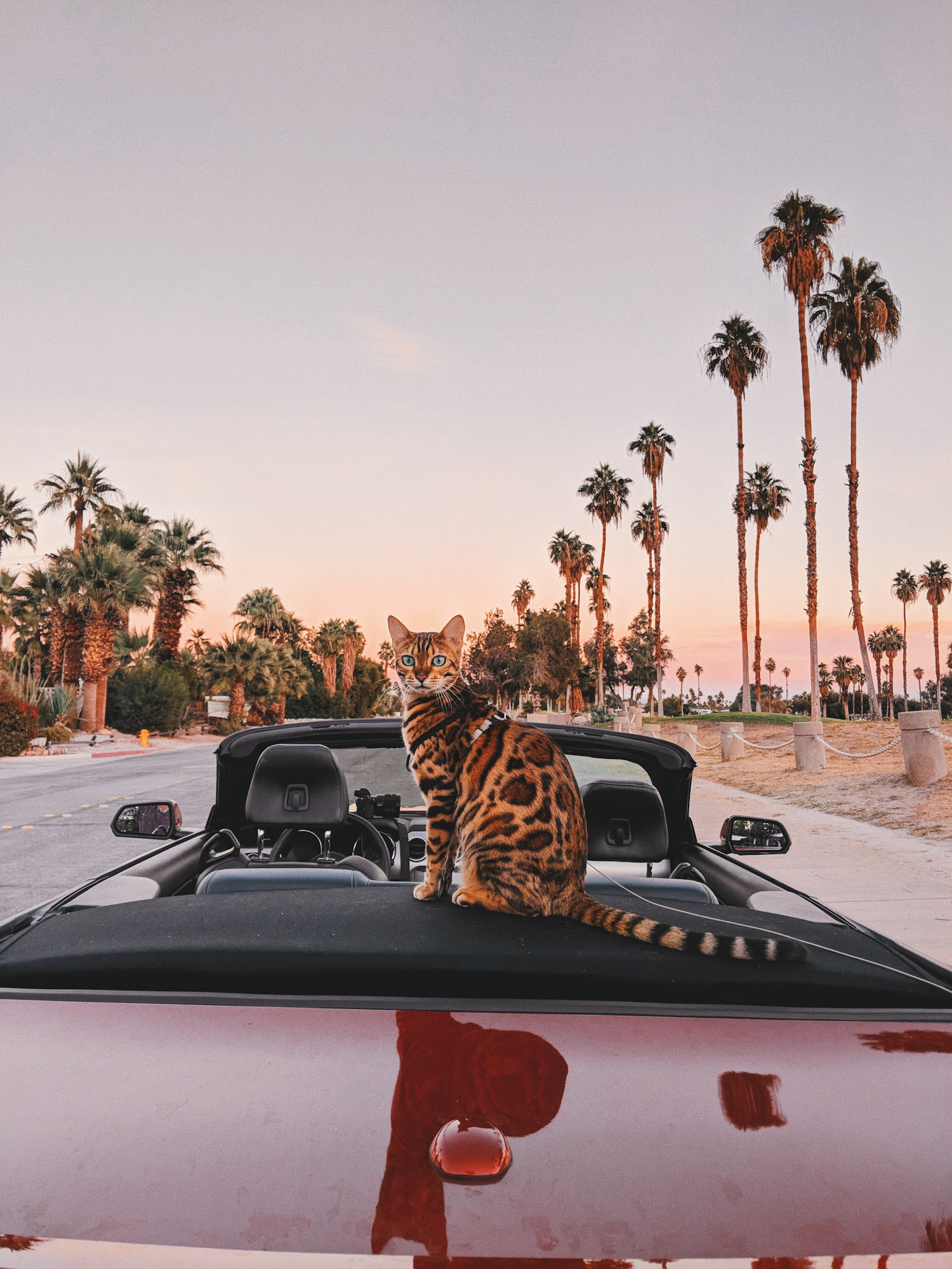 Suki cat sitting on convertible in California