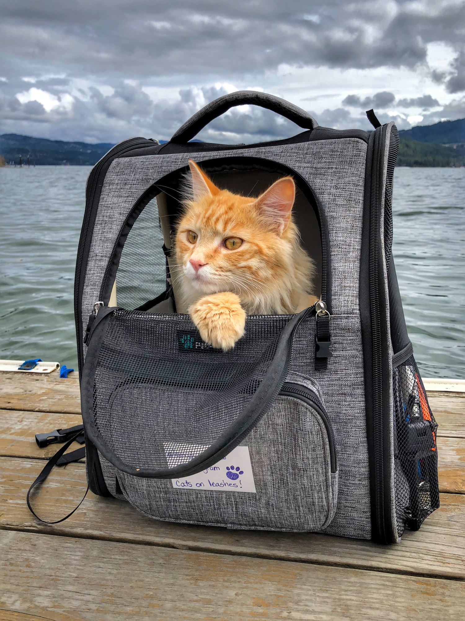 orange tabby peeks out of backpack