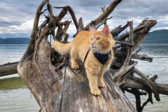 adventure cat walks on fallen tree in water