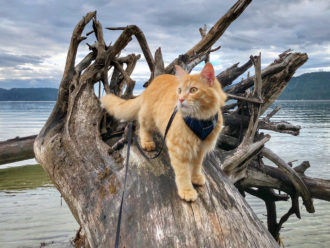adventure cat walks on fallen tree in water