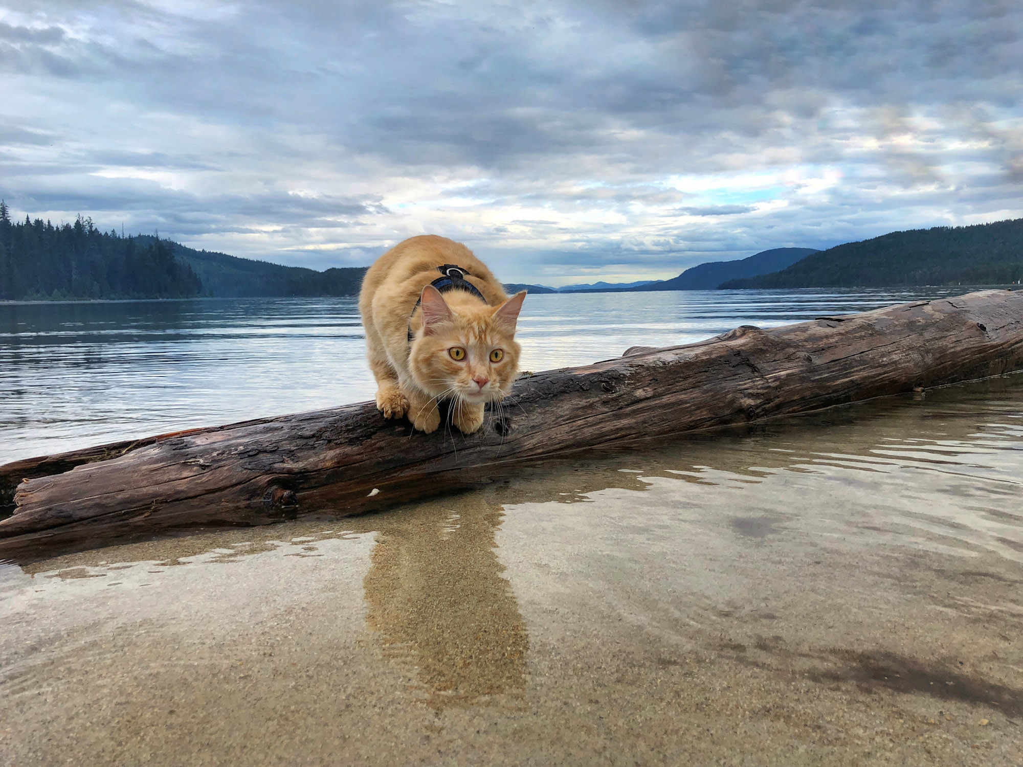 orange tabby poses on log in water