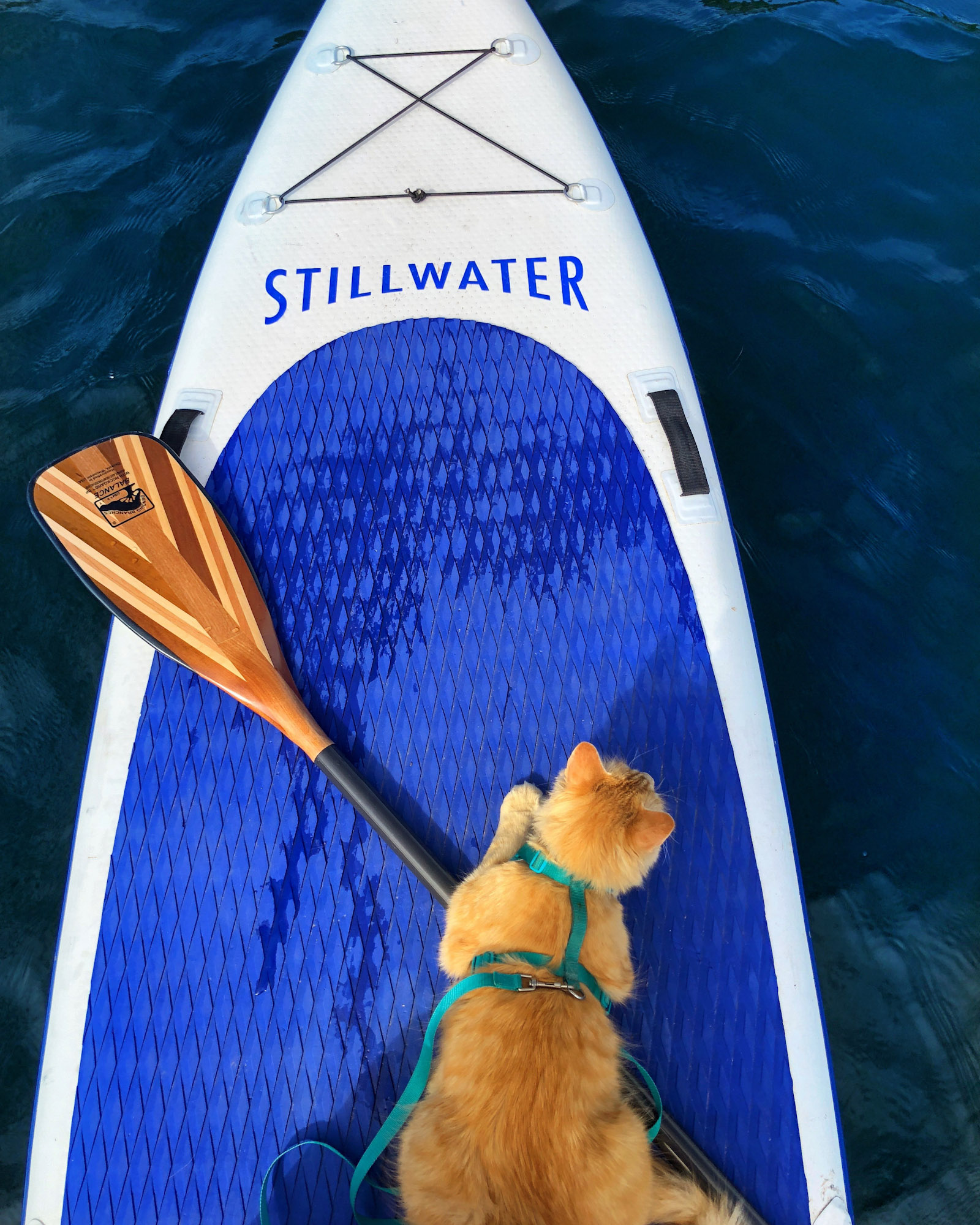 orange tabby cat on paddleboard