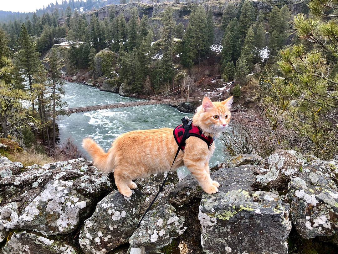 orange tabby cat hiking in Washington