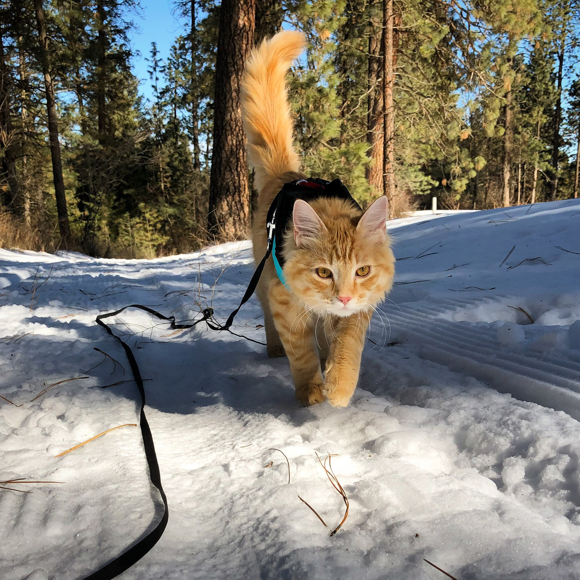 adventure cat holds tail high as he hikes in snow