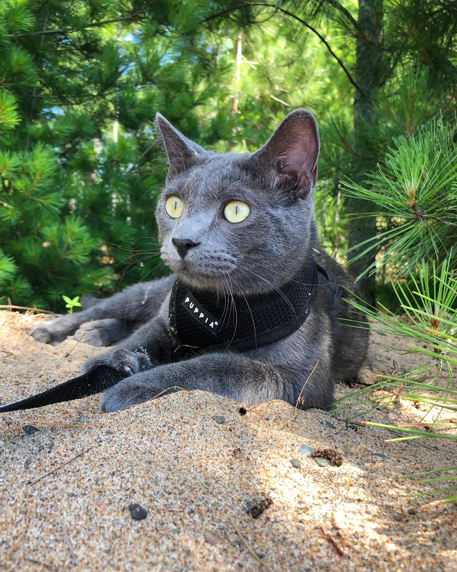 cat in harness rests among evergreen trees