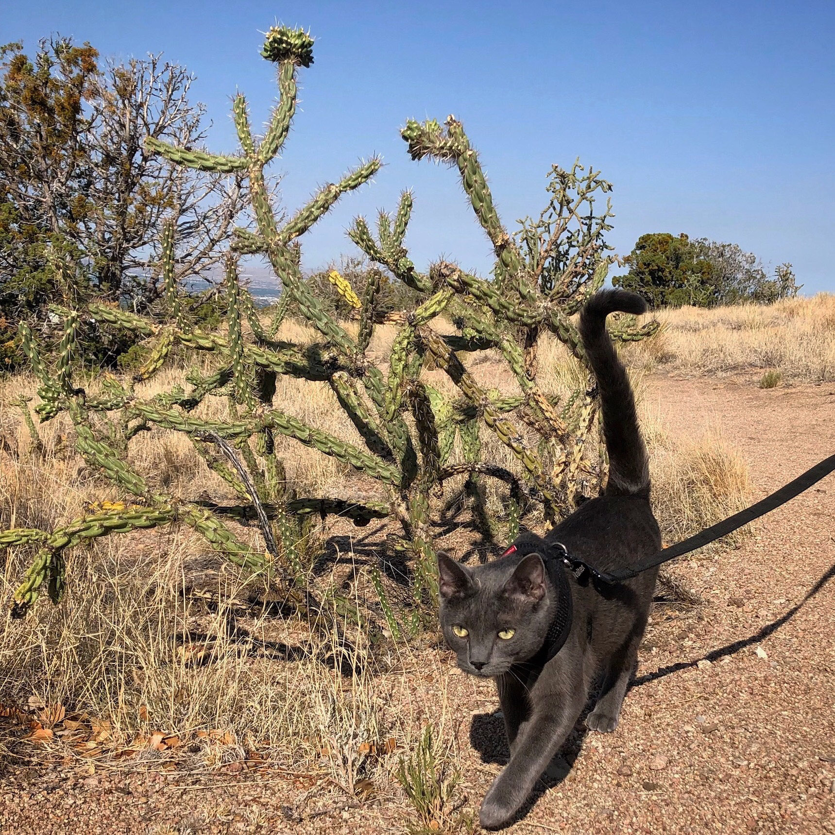 adventure cat walks by cactus with tail held high