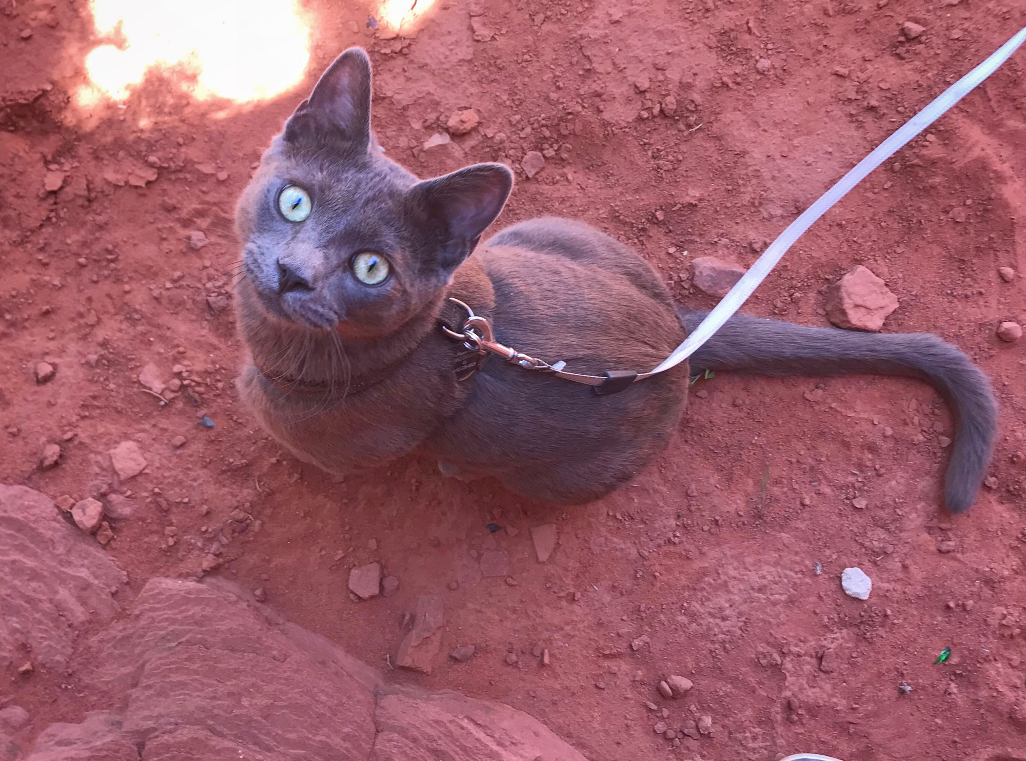 gray adventure cat stares up from red dirt