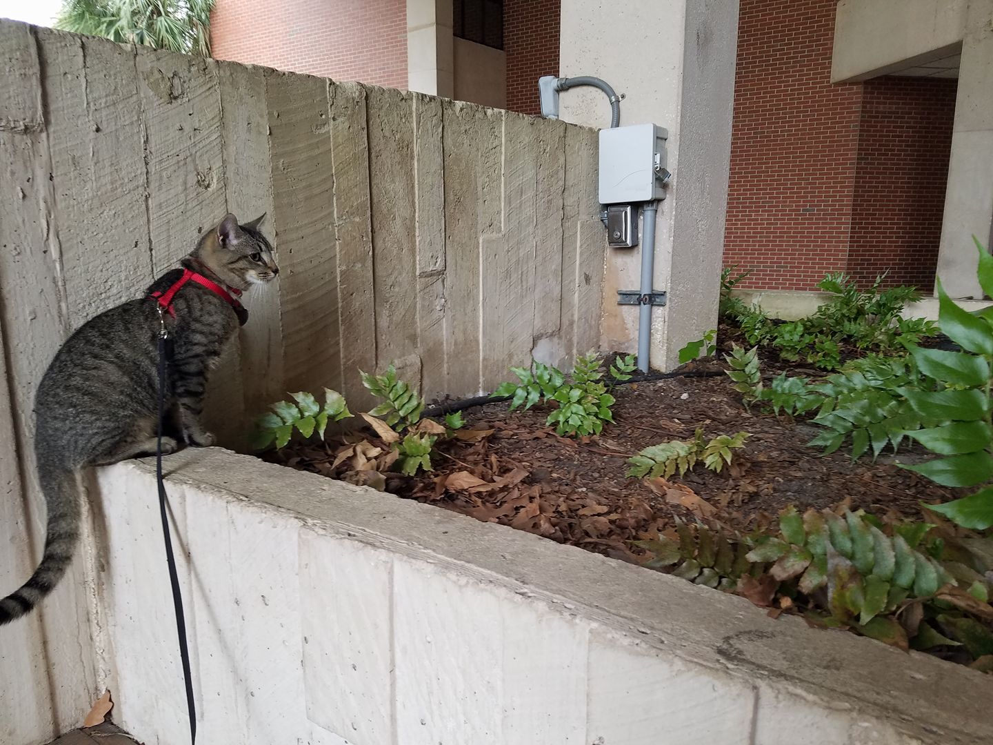 gray cat explores college campus on a leash